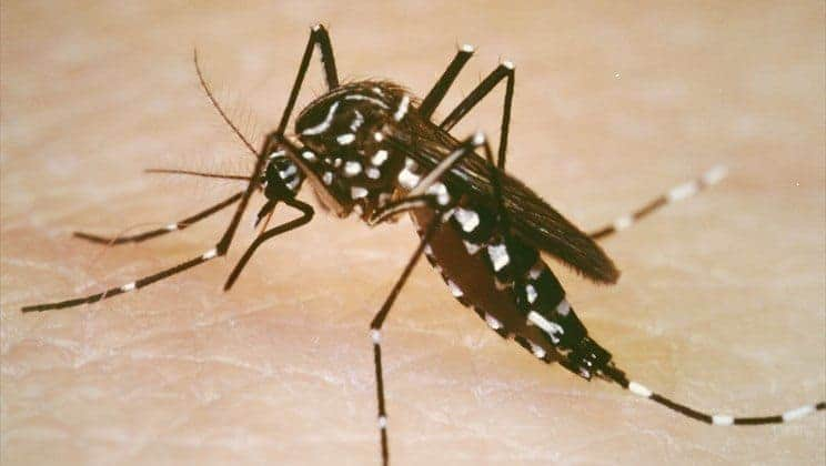 Aggressive and Human-Loving, Aedes Aegypti Mosquito Spreading Zika and Other Diseases