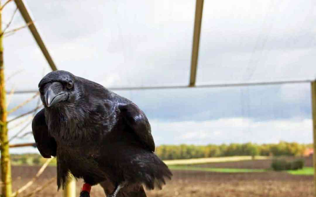 Despite their small brains — ravens are just as clever as chimps