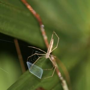 What big eyes you have! Spider adaptation widened dietary net