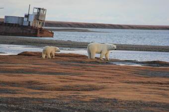 Polar Bear Outlook Favorable Under Certain Scenarios