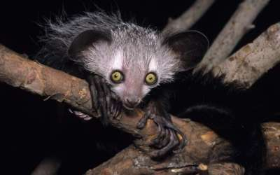 Study With Aye-Ayes and Slow Loris Finds Prosimians Prefer Alcohol