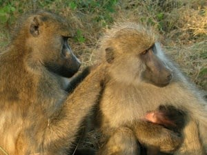 Having Well-connected Friends Benefits Female Baboons