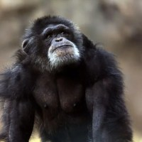Bili Apes -- Giant Lion-Eating Chimp (Chimpanzee) Subspecies