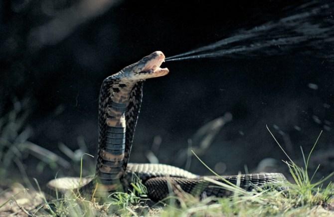 King Cobra spitting