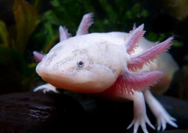 Near Extinct Animals -- Mediterranean Monk Seal, Axolotl Mexican Salamander, Tiger Spider, Southern Bluefin Tuna, & Alabama Cavefish