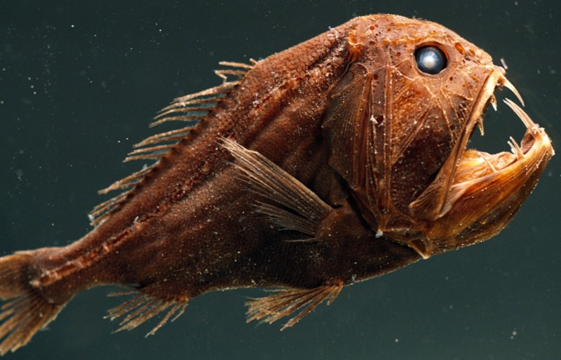 Fangtooth Fish (Anoplogaster Cornuta) -- Deep Ocean, Large-Toothed Predator