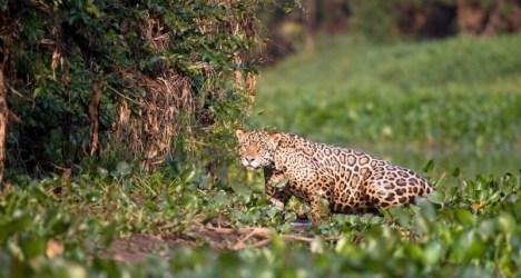 Jaguar river swimming
