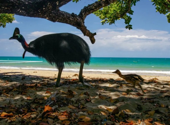 Cassowary on beach with chick