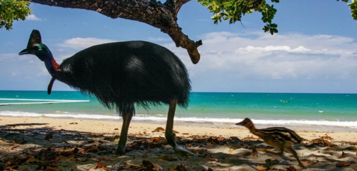 Southern Cassowary (Casuarius Casuarius) -- Bird, Attacks On Humans, Feet, & Pictures