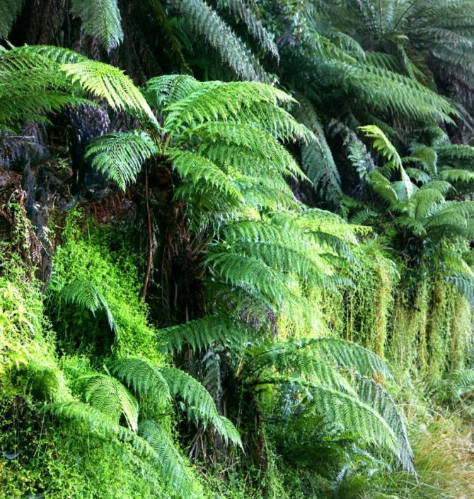 Tree ferns South Island New Zealand