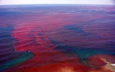 Algae bloom red ocean