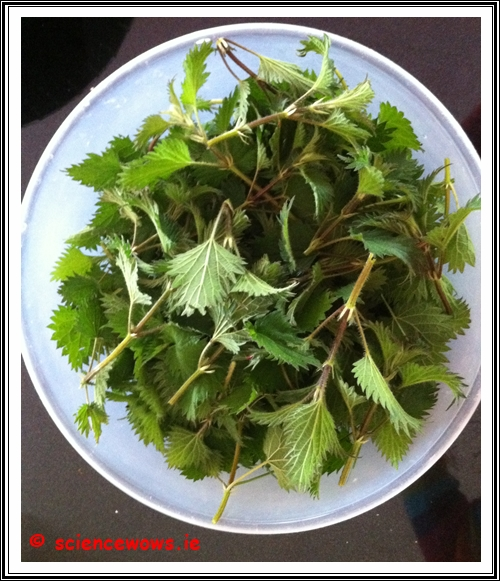 Our fresh nettle harvest