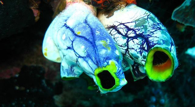 Mystery Creature Revealed – the Sea Squirt