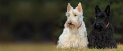 Old Scottie Rescue Network Tennessee Scottish Terrier Rescue Network Recycling Scottie Love All Terrier Rescue Tigard All Terrier Rescue Facebook