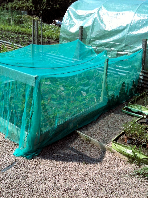 Plot Strawberry Plants