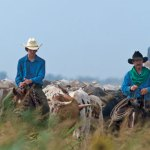Boy Scout Image -- Cattle drive