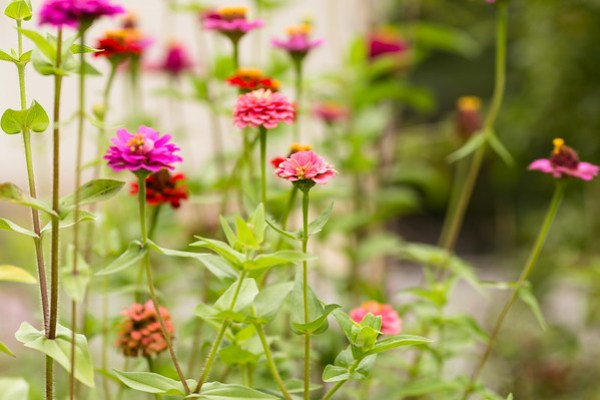 Zinnias | Sidewalk Shoes