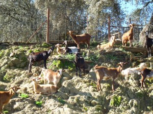 Goats doing what they love best - climbing.