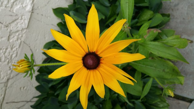 Happy Black-eyed Susan