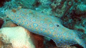Peacock Flounder 2