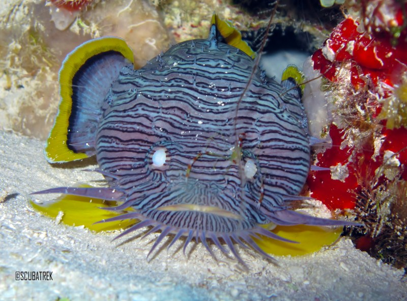 Splendid Toad Fish