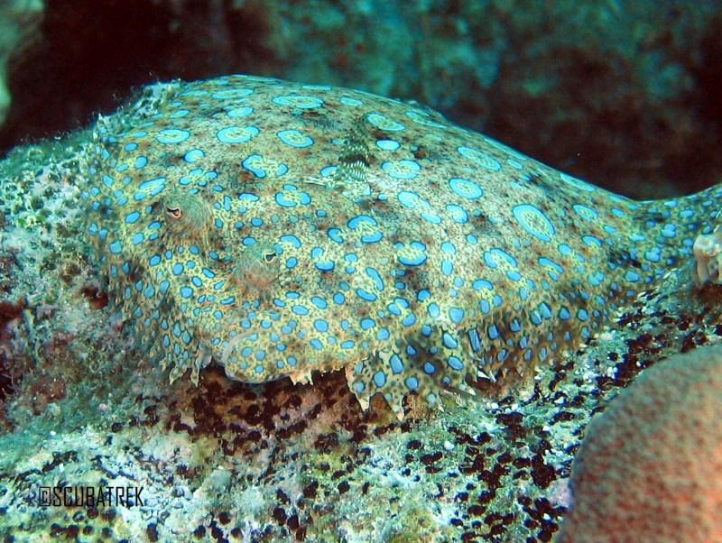 Peacock Flounder 1