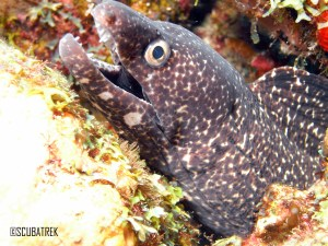 White Spotted Eel