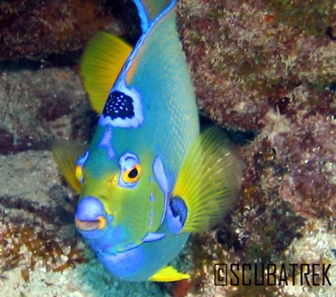 Queen Angel Fish