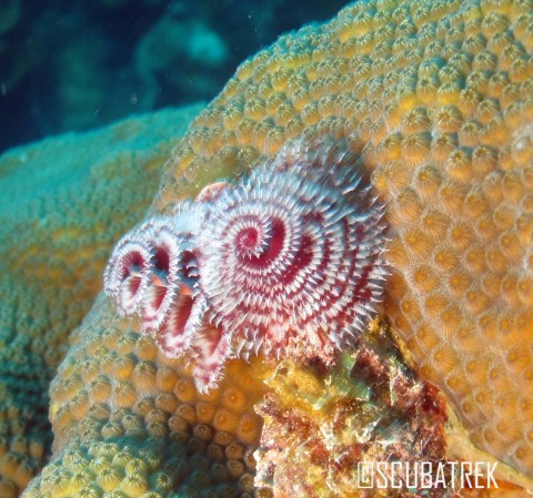 Red Christmas Tree Worm