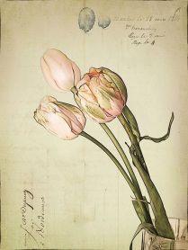 botanicals tulips