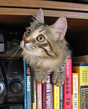 Siberian cat Calina on bookshelf