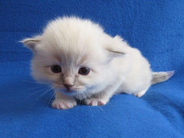 Siberian kitten Kiko at 20 days old, 20 September 2016