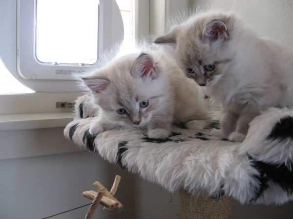 6-week-old Kiska (left) and Katrina mesmerised by the Cat Dancer toy