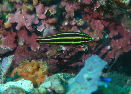 is a Cardinalfish from the Indo Pacific. A yellow black striped fish