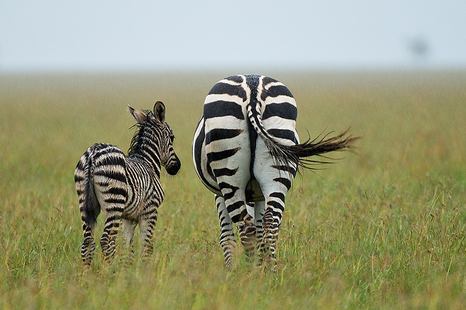 Zebra baby and mother - photo#16