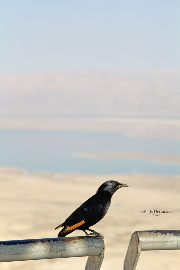 Black Bird in Masada Travel Israel