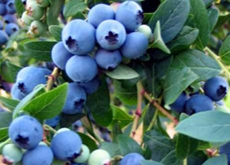 blueberries 480