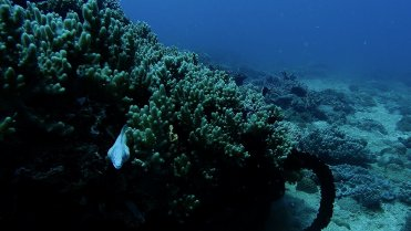 Clip 22: White Peppered Moray Eel and Chocolate Dip beyond. Dive site: Bongoyo Patches