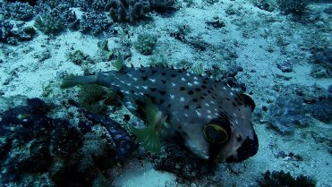 Clip 29: A snuggly Porcupinefish or Burrfish. Dive site: Big T-Wall