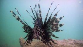 Lionfish in Dar es Salaam 1920 x 1080