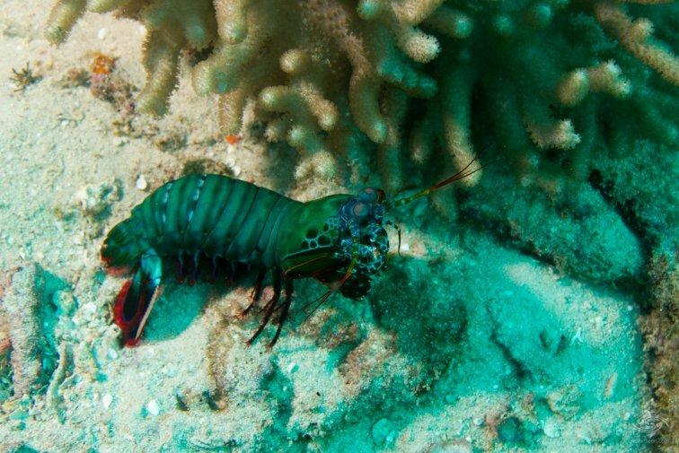 peacock mantis shrimp, Odontodactylus scyllarus