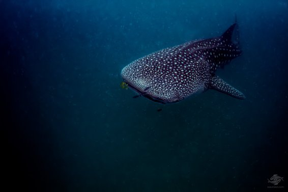 Whale shark off the coast of Mafia Island