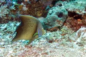 Koran angelfish, blue angelfish or semicircle angelfish (Pomacanthus Semicirculatus)
