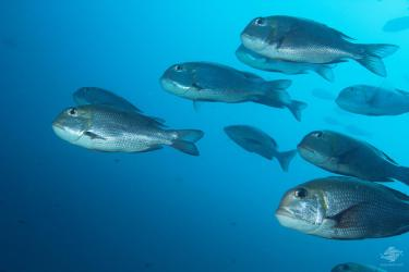 A humpnose bigeye bream, Monotaxis Grandoculis with a large shoal in the background in mafia Island Marine Park