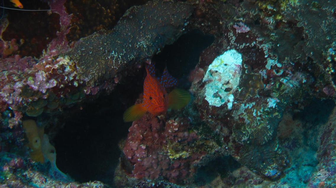 A coral grouper, Epinephelus corallicola eyes the photographer