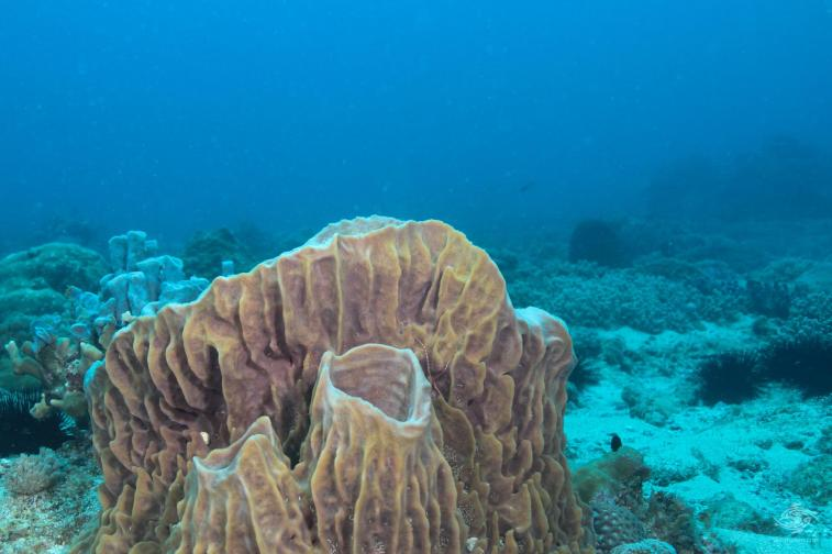 Barrel Sponge in foreground Bongoyo Patches