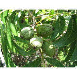 Small Crop Of Pecan Tree Leaves