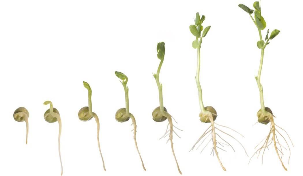 SeedSprouting