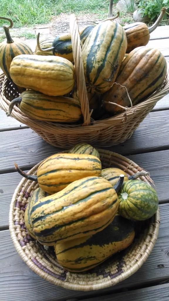delicata-harvest