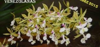 Este sábado 14 de noviembre en la sede de El Marques, Festival de especies de Orquídeas será en la SVCN